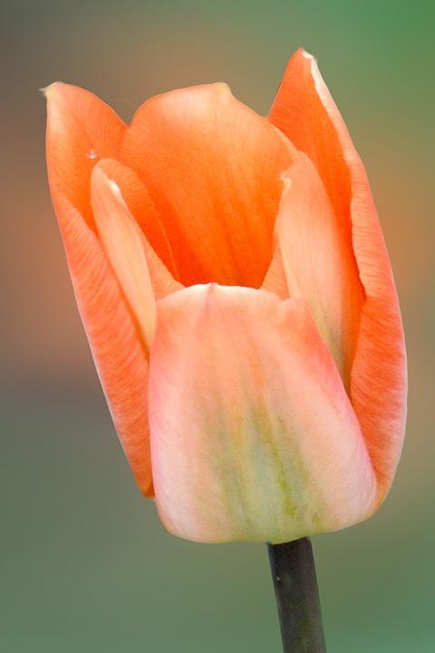 Flower, Nature, Tulip, Plant
