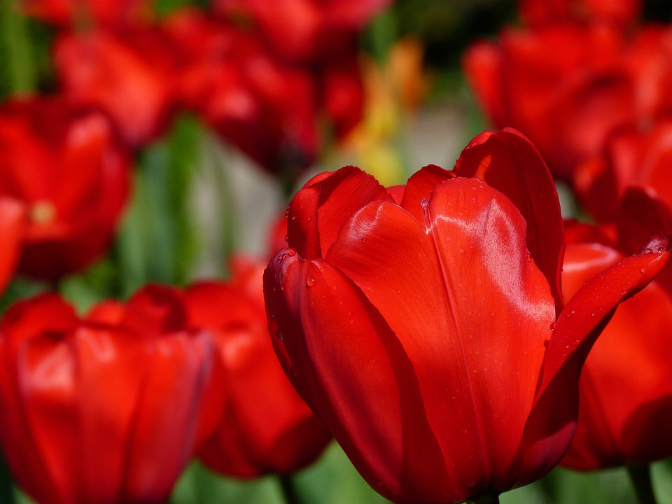 Tulips, Flower, Nature, Spring, Red