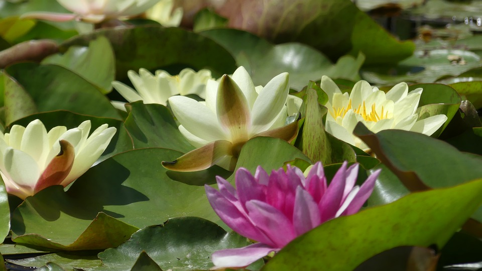 Water Lily, Water, Nature, Flower, Lake, Blooms At