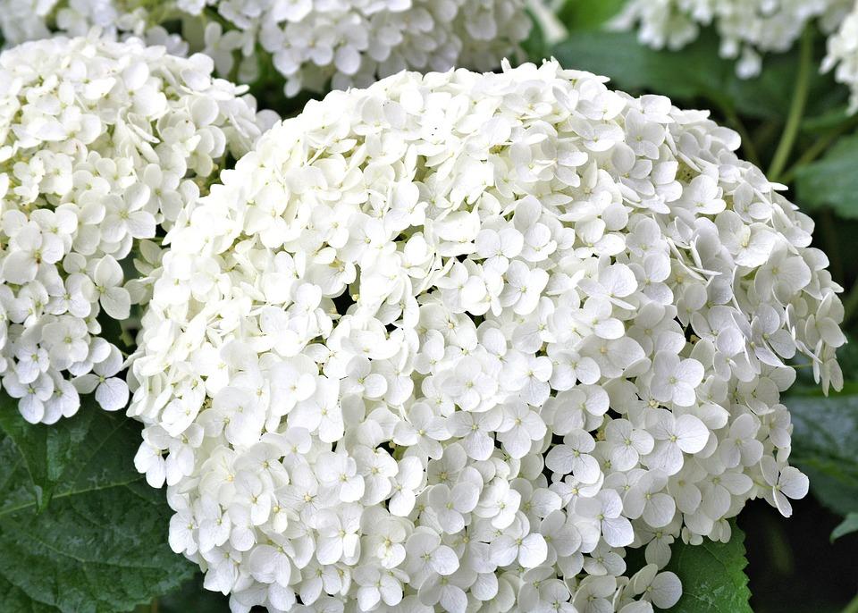 Hydrangea, White, Flower, Garden, Nature, Summer