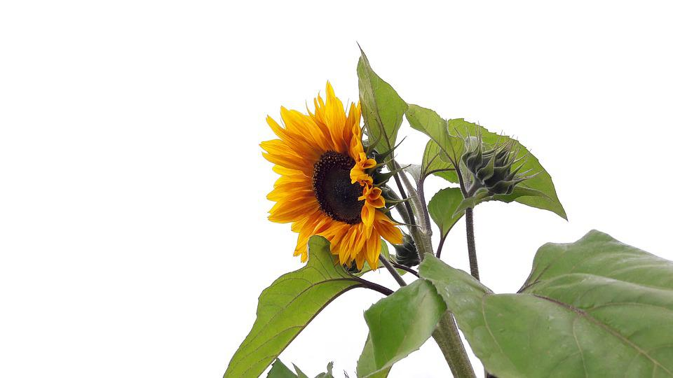 Sunflower, Helianthus Annuus, Flower, Yellow, Nature