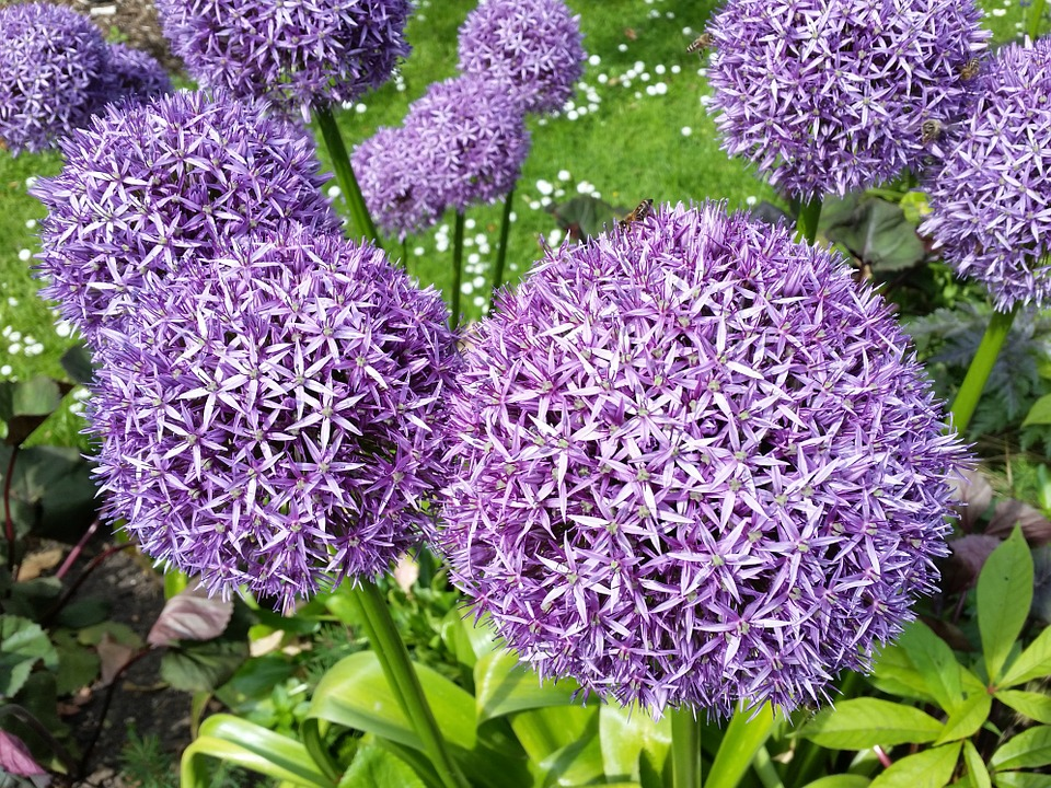 Purple Allium, Flowers, Garden, Bloom, Nature