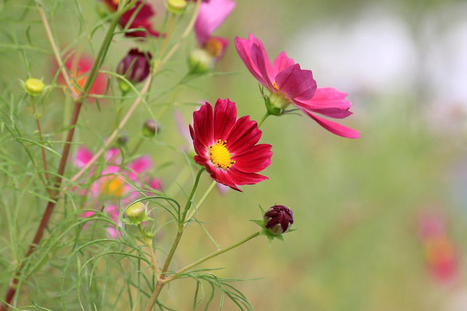 Cosmos, Autumn, Close-up, Flowers, Plants, Nature