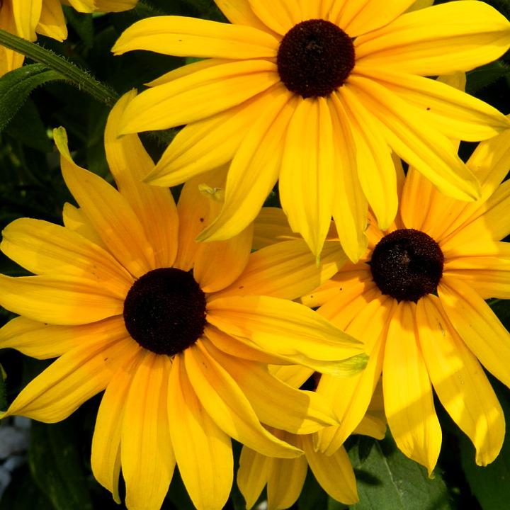 Flowers, Rudbeckia, Flower Bed, Nature
