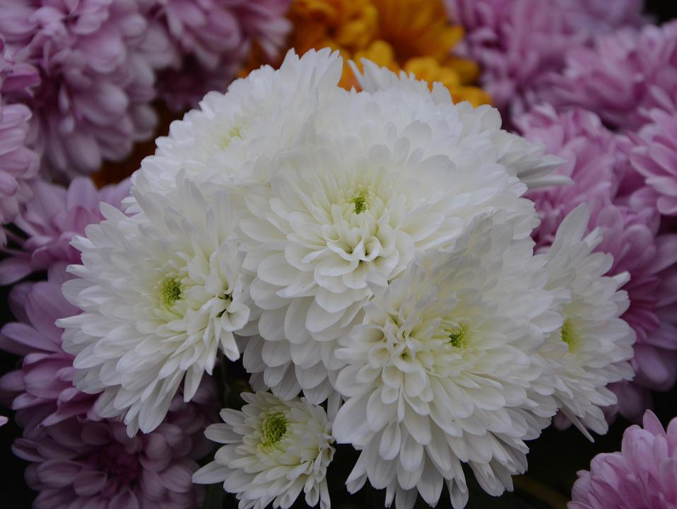 Free photo nature flowers flowers fall white chrysanthemums max pixel flowers white chrysanthemums flowers fall nature mightylinksfo