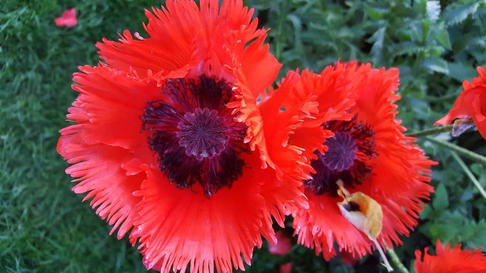 Poppy, Red, Nature, Blossom, Bloom, Garden, Flowers