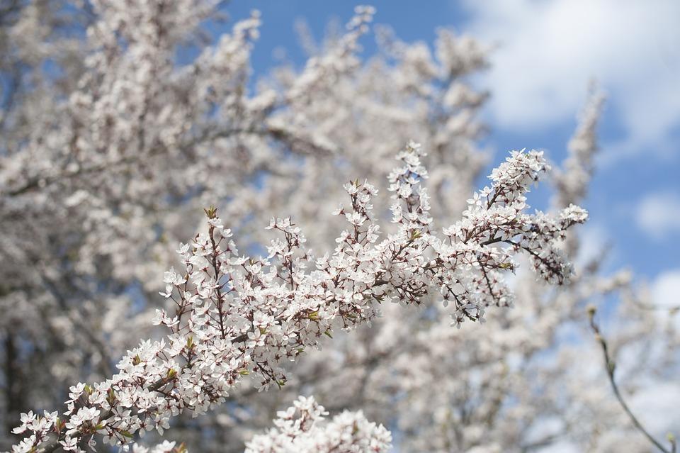 Spring, Tree, Blossom, Flowers, Nature, Garden, White