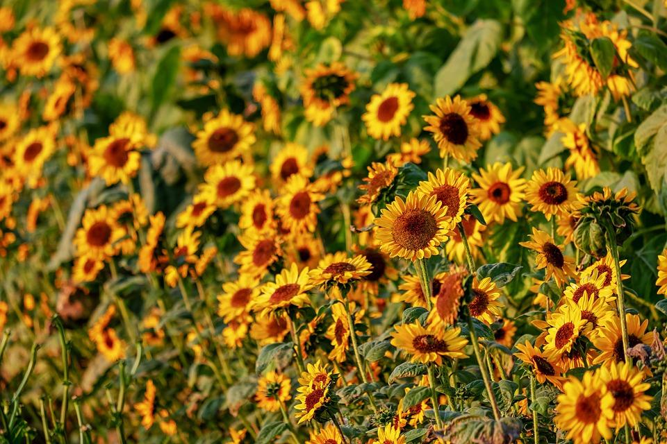 Sunflower, Helianthus, Flowers, Bloom, Nature