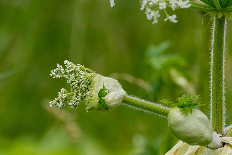 Flowers, Nature, Summer, Netherlands, Hogweed