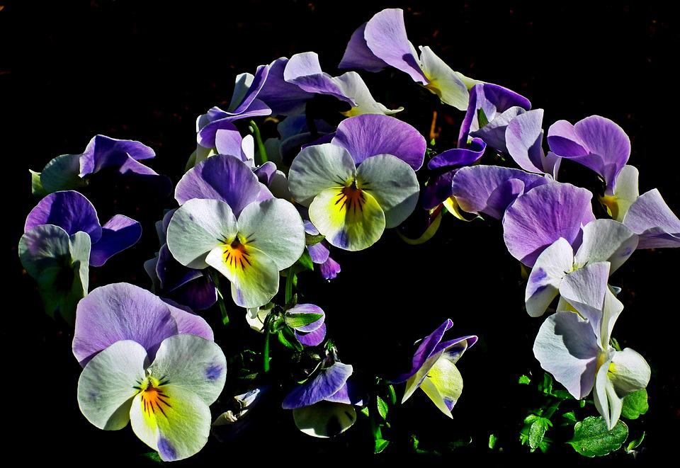 Pansies, Flowers, Nature, Colorful, Decorative