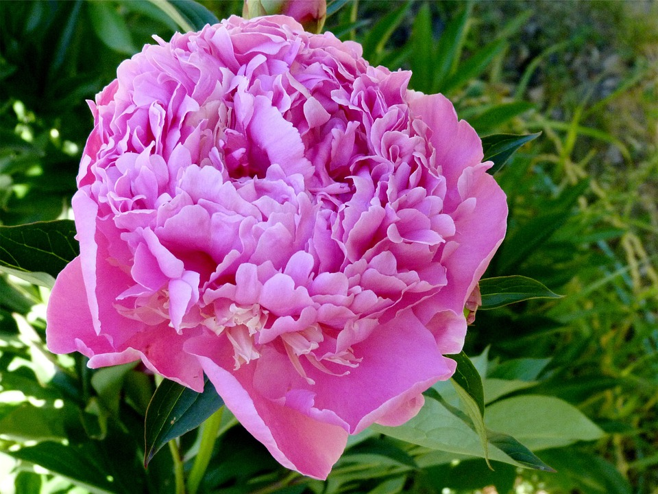 Flowers, Peony Rose, Garden, Nature, Summer, Petals