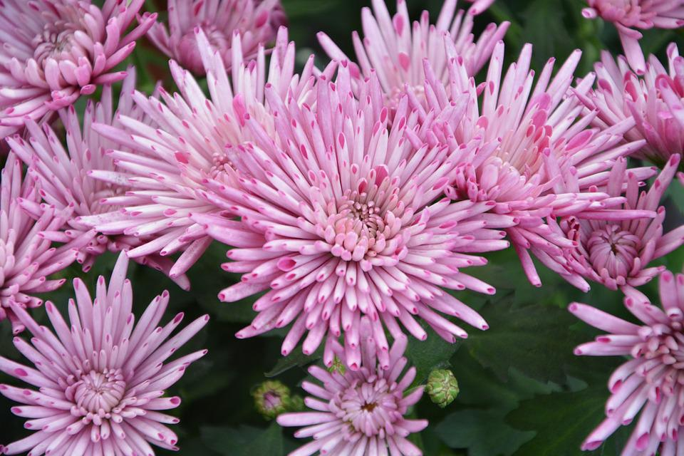 Free Photo Nature Flowers Pink Color Flowers Pink Flowers Max Pixel