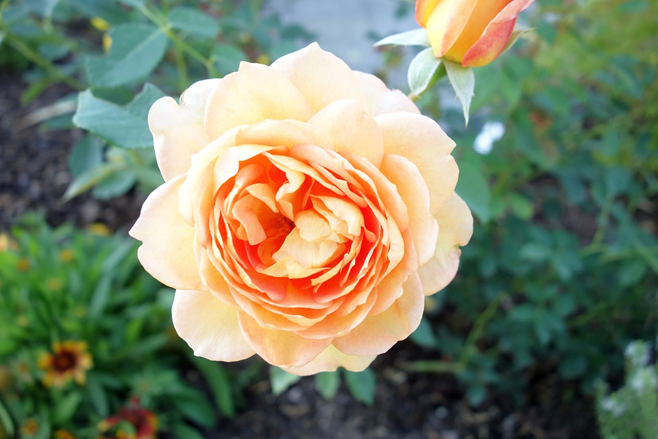 Rose, Apricot, Blossom, Bloom, Flowers, Plant, Nature