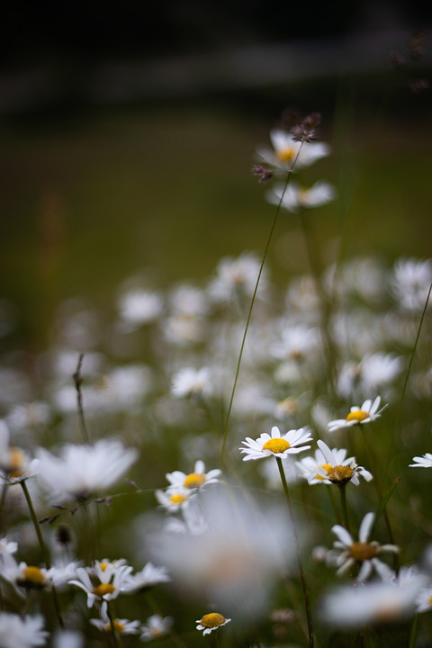Daisies, Flowers, Nature, Plant