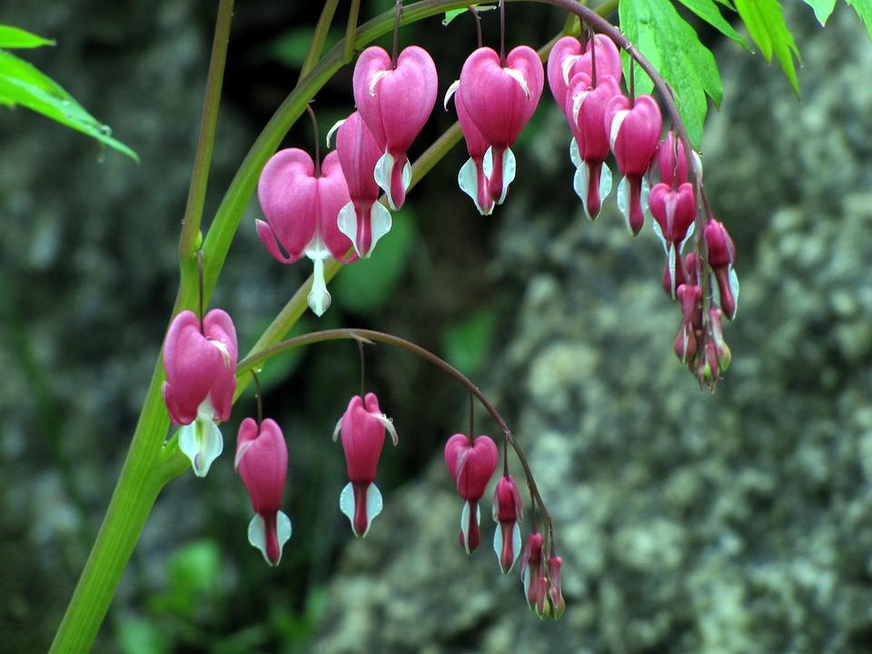 Bleeding Heart, Spring Flowers, Flowers, Nature, Plants