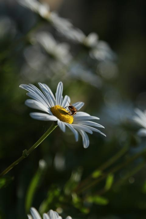 Chrysanthemum, Flowers, Nature, Plants, Wildflower