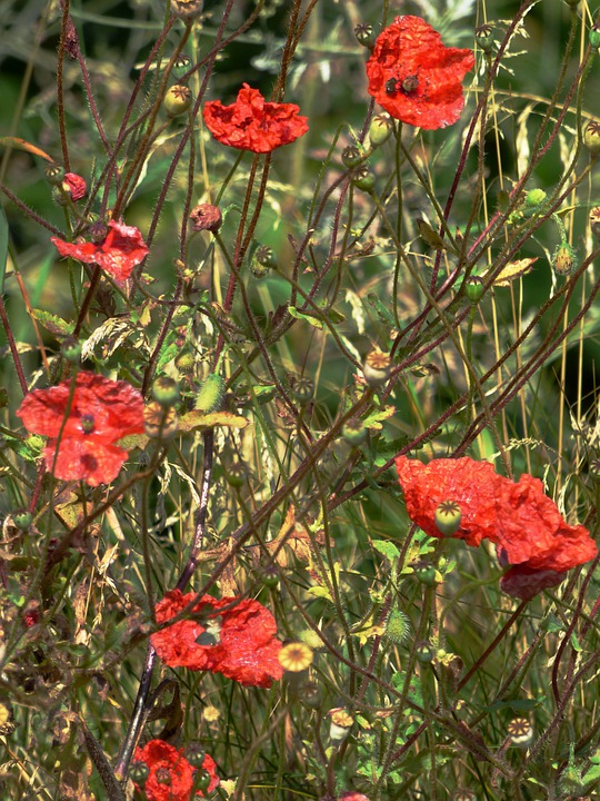 Flowers, Poppies, Nature