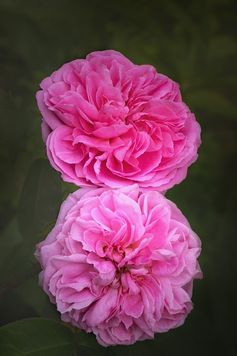 Nature, Flowers, Roses, Rosaceae, English Roses