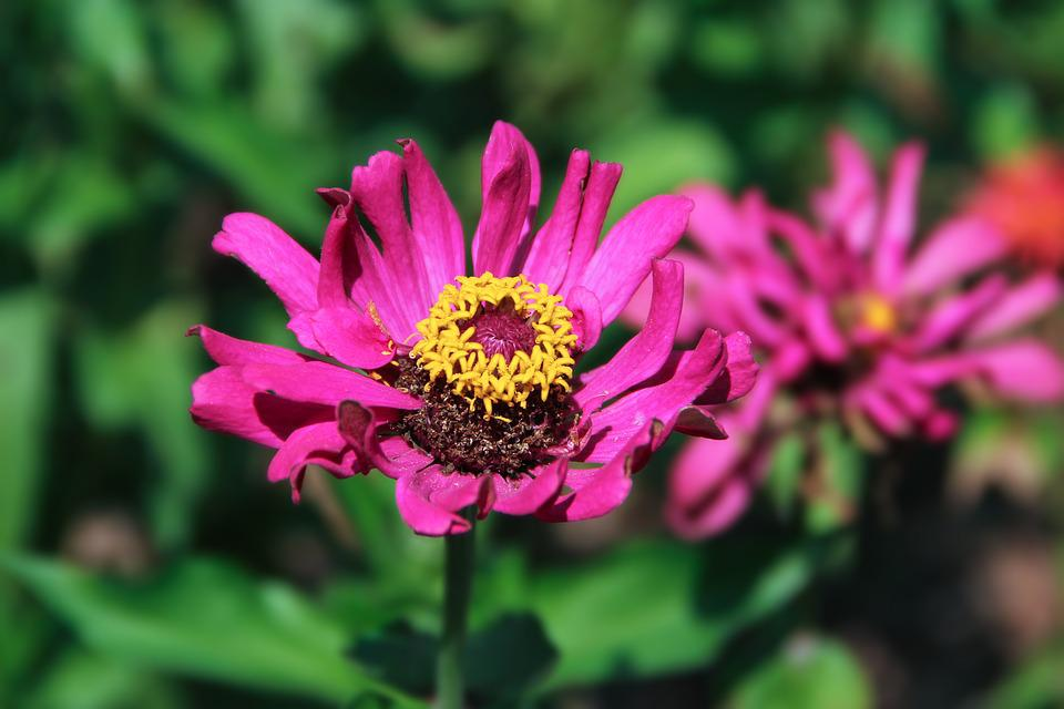 Zinnia, Small Fresh, Flowers, Beautiful, Nature, Macro
