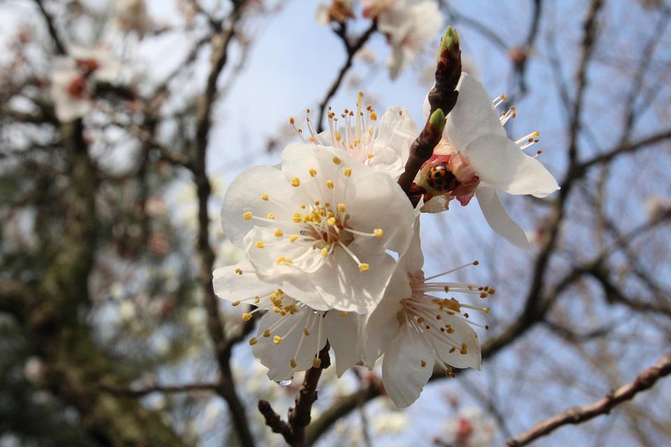 Plum, Flowers, Spring, Nature, Pink, Flower Tree