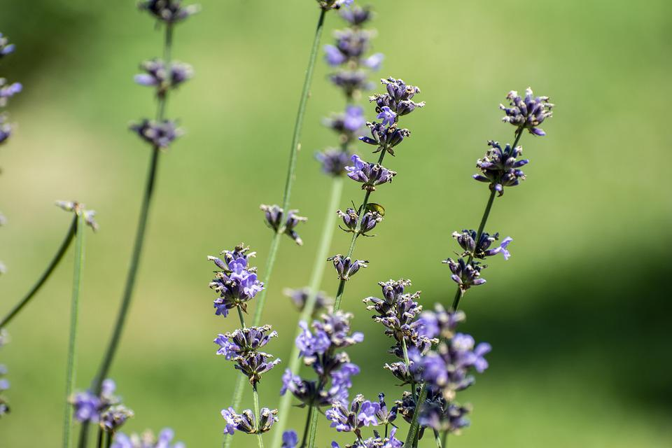 Lavender, Nature, Purple, Flowers, Summer, Violet