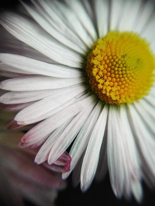 Nature, Vegetation, Plants, Flowers, Flora, Daisy