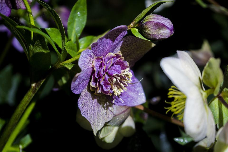 Nature, Flowers, Night, Water, Darkness, Hellebore