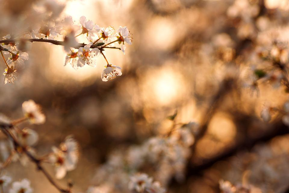 Blossom, Bloom, Spring, Flowers, White, Petals, Nature
