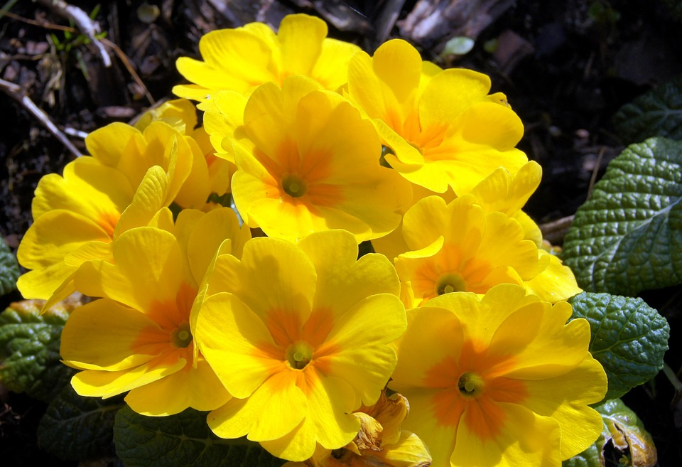 Yellow Flowers, Spring, Flowers, Nature