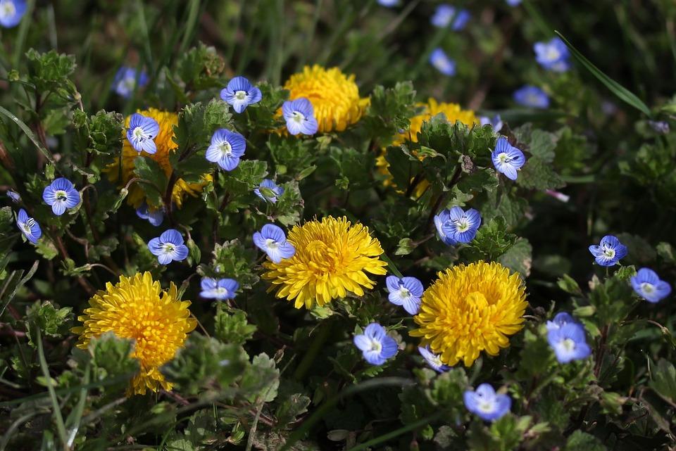 Free photo nature flowers yellow plants dandelion spring max pixel dandelion yellow plants flowers spring nature mightylinksfo