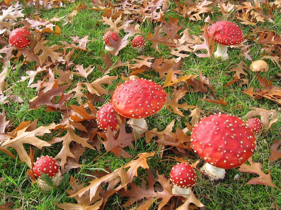 Fly Fungi, Nature, Leaves, Autumn