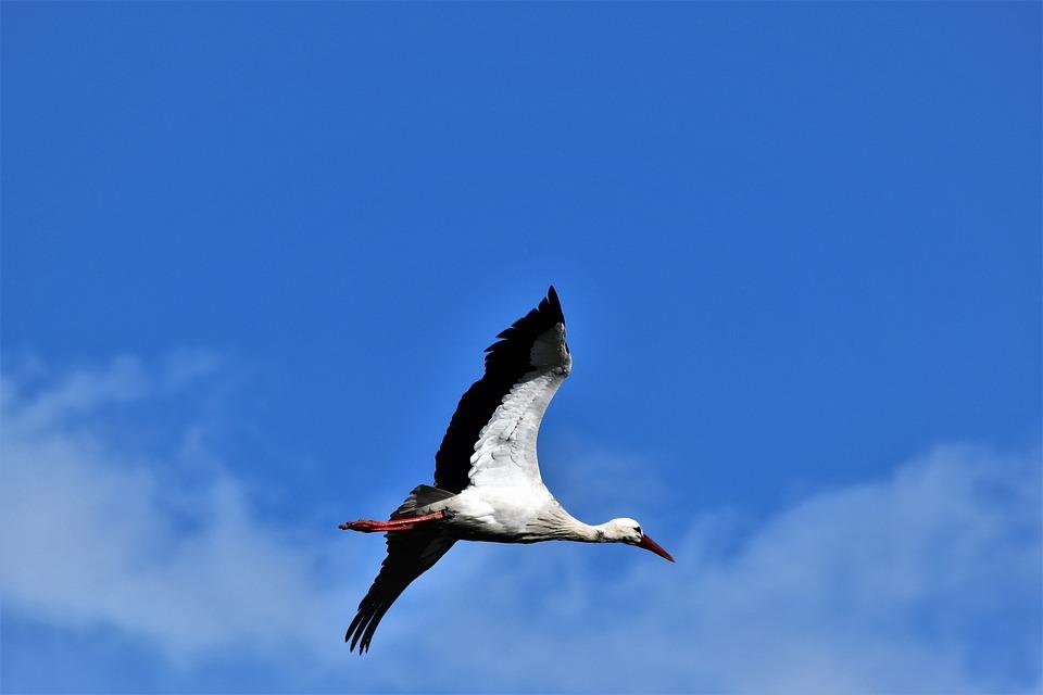 Stork, Flying, Flight, Bird, Nature, Rattle Stork