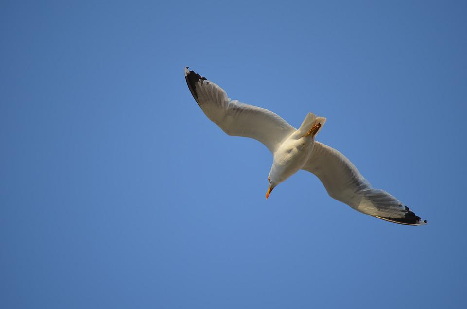 Animal, Bird, Sea, Seagull, Sky, Blue, Flying, Nature