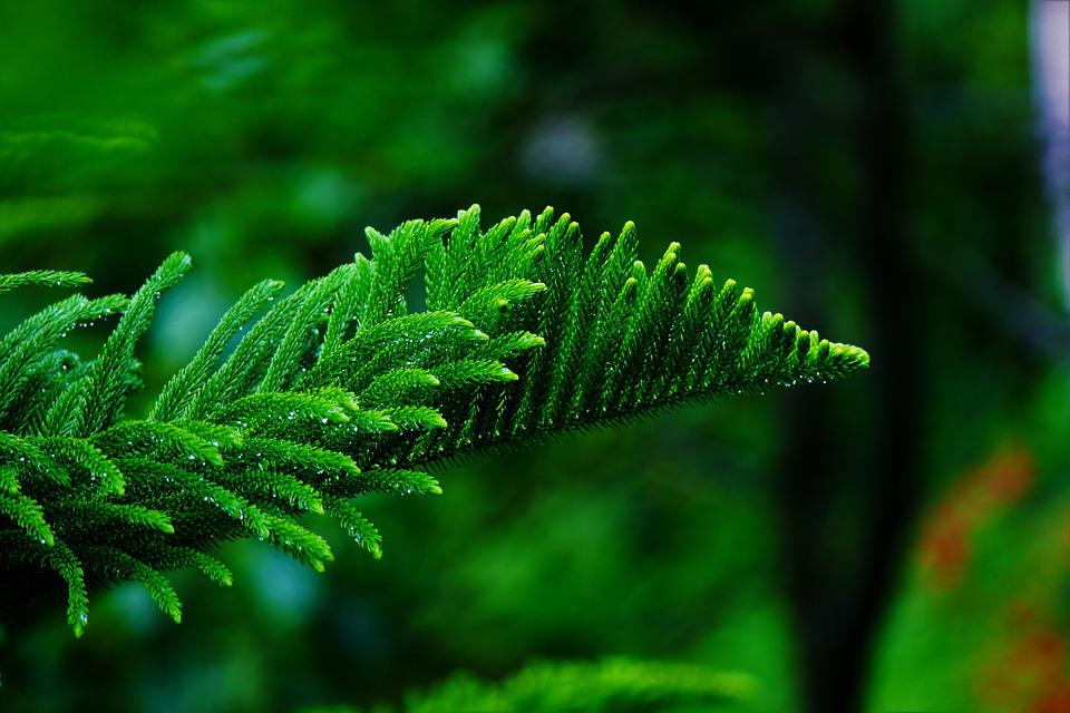 Pine Tree, Foliage, Leaves, Nature, Green, Forest