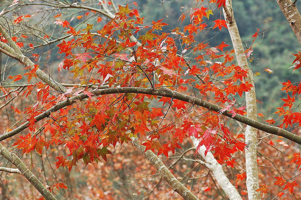 Fall Leaves, Autumn, Red, Foliage, Nature, Maple Leaves