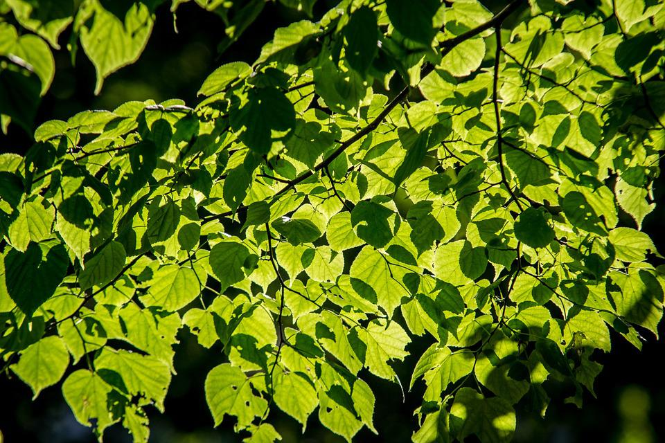 Foliage, Lime, Tree, The Sun, Nature, Forest, Green