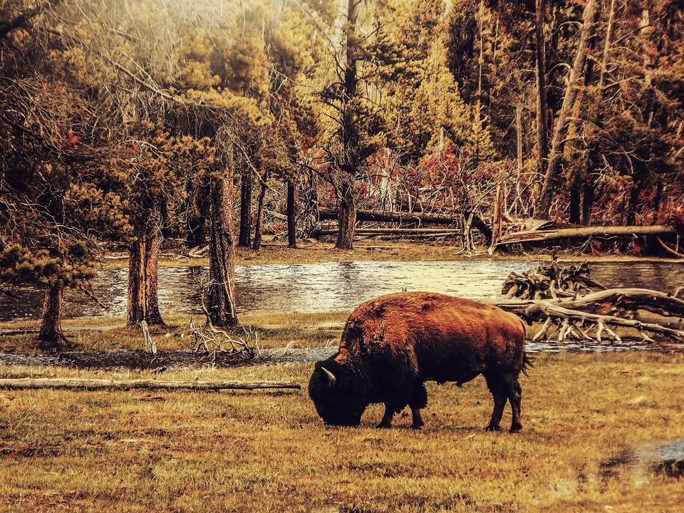 Bison, Animal, Landscape, Nature, Forest, Scenic