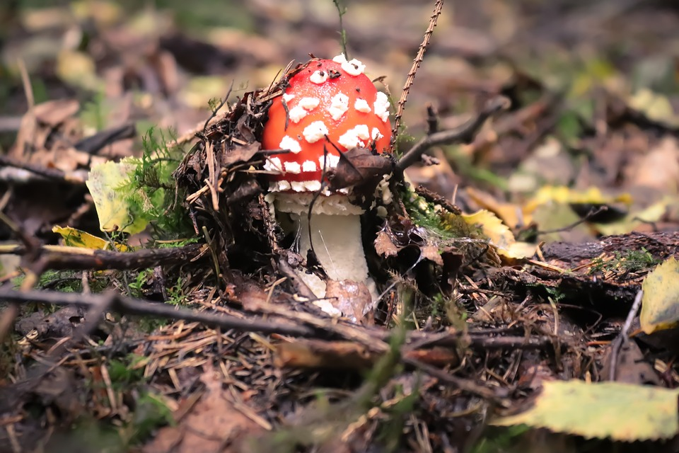 Mushroom, Fly Agaric, Autumn, Forest, Nature