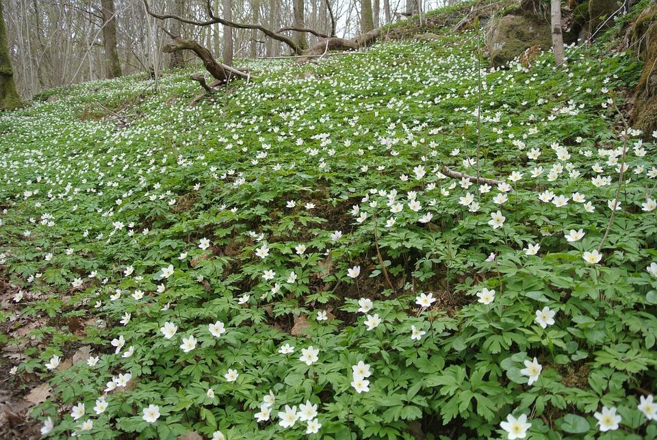 Woodanemone, Windflower, Forest, Flowers, Nature