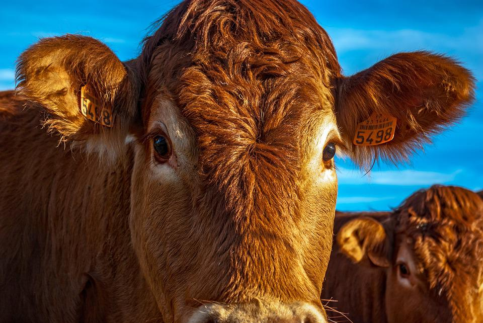 Cow, Beef, Animal, Nature, Farming, Agriculture, France