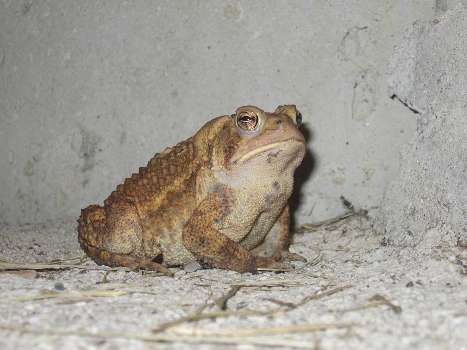 Frog, Amphibian, Animal, Nature, Wildlife