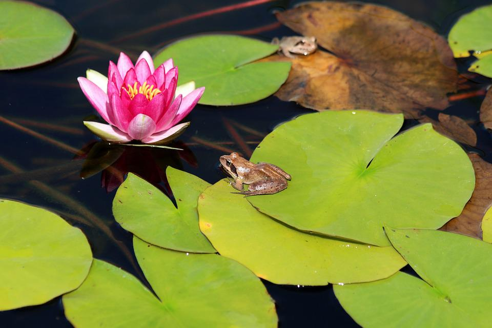 Frog, Water Lily, Leaves, Pond, Nature, Water, Green