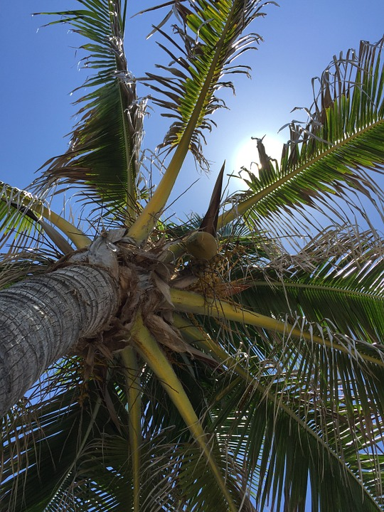 Palm, Tree, Tropical, Nature, Fronds, Blue, Sky, Clear