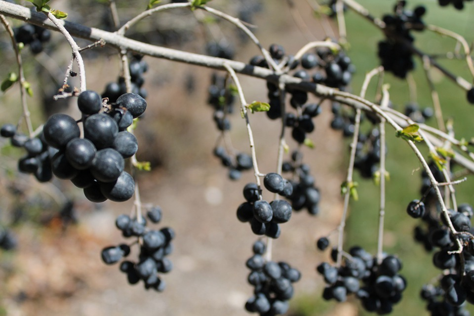 Berries, Branch, Nature, Plant, Tree, Fruit, Currants