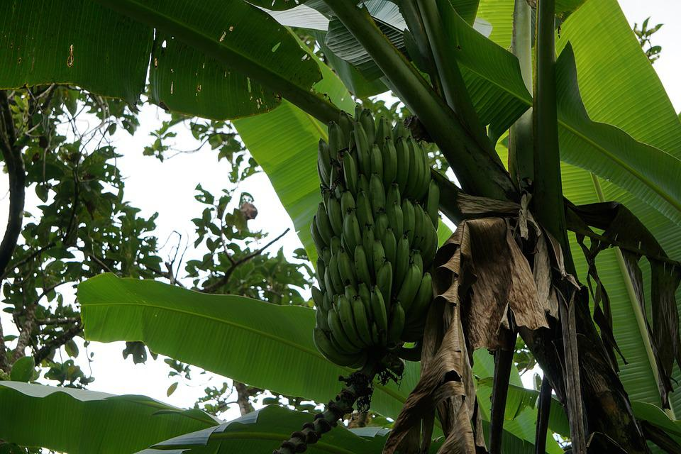 Banana, Fruit, Nature, Food, Flora
