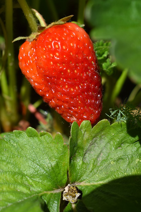 Strawberry, Spring, Blooming, Nature, Food, Fruit