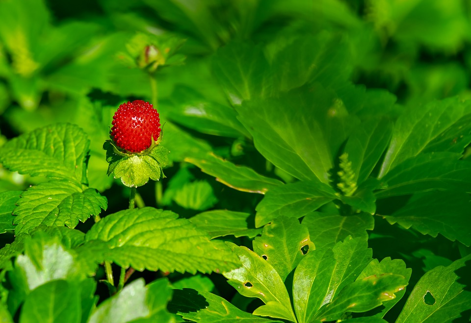 Strawberry, Wild Strawberry, Nature, Berry, Fruit