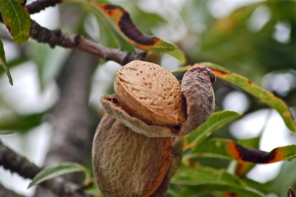 Fruits, Tree, Almond, Nature, Autumn, Vegetable