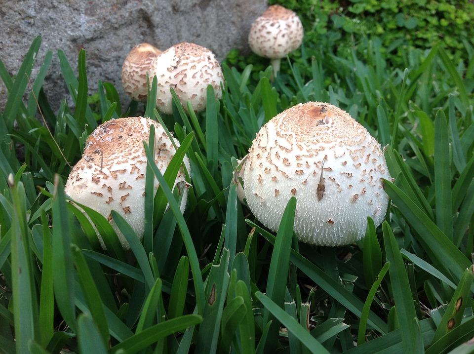 Fungus, Mushrooms, Garden Mushrooms, Nature, Garden