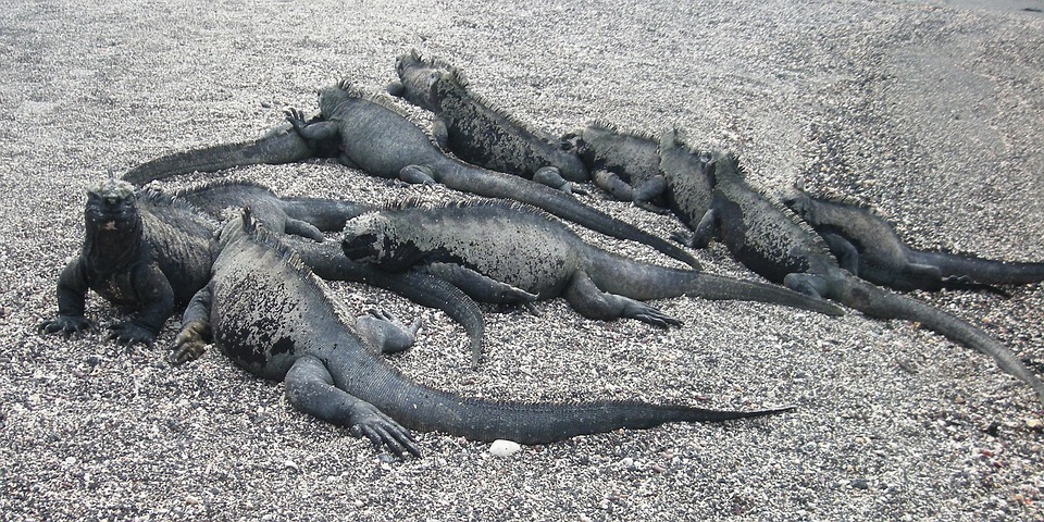 Iguana, Marine, Galapagos, Island, Reptile, Nature